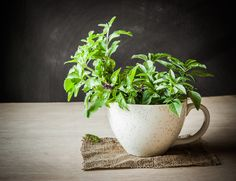 Remedies For Insomnia Benefits Of Holy Basil For Stress, Anxiety And Insomnia - Holy basil is undoubtedly one of the best medicinal herb in ayurveda. It may help counteract the effects of stress, anxiety and insomnia. Benefits Of Basil, Health Benefits, Tulsi Tea, Anti Inflammatory Herbs, Best Superfoods, Basil Plant, Decoration Plante, New Green, Medicinal Herbs