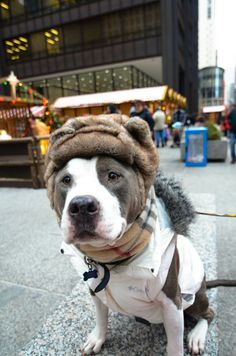if i were a pit in Chicago, i'd dress like this as well. Two Pitties in the City blog