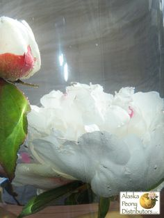 For a special display peonies can be submerged in water to create an ethereal effect.  Petals on lighter colored peonies will become almost see-through after a few days.  Here we have a Festiva Maxima peony and bud.