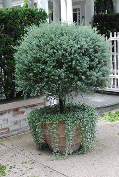 Australian bush mint would look great in pot like this with ivy or purple flowering vine below.