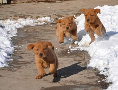 Fox red lab pups! ooohhh can't wait for Wrigley to see the snow!!!