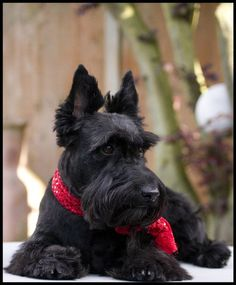 Gorgeous Scottie ♡... re-pin by www.StoneArtUSA.com ~ affordable custom pet memorials for everyone.