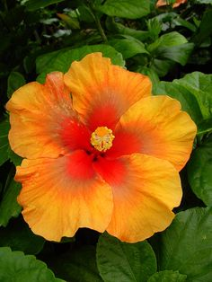Hibiscus 'Indian Summer'