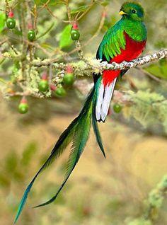 Rare Birds, Exotic Birds, Colorful Birds, Most Beautiful Birds, Pretty Birds, Quetzal Tattoo, World Birds, Wild Creatures, Bird Pictures