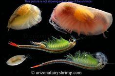Fairy Shrimp, Clam Shrimp, and Seed Shrimp Planted Aquarium, Aquarium Fish, Aquarium Ideas, Water Animals, Animals And Pets, Sea Monkeys, Aquaponics System, Aquaponics Supplies, Hydroponics