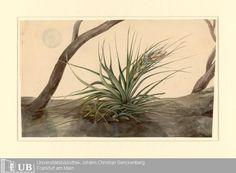 [Tillandsia], Louise von Panhuys, Aquarell. Early 19th century. Digitale Sammlungen Universitätsbibliothek Frankfurt