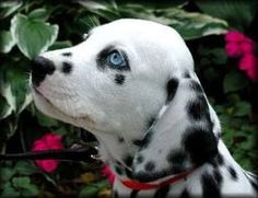 Dalmatian Puppy with blue eyes baby  Tanner