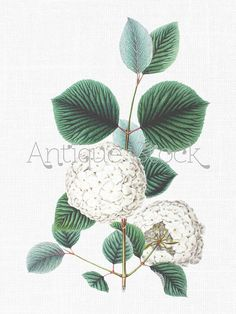 Botanical White Flowers Download  Japanese by AntiqueStock on Etsy