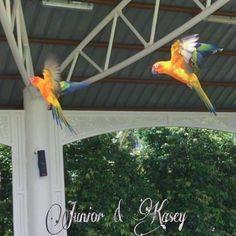 John Lee's Affinity Flight trained dynamite duo Junior and Kasey! #hyacinthmacaw #parrots #macaws #loro #guacamaya #papagaio #papegøje #papegaai #papagei #pappagalli #papuga #Попугаи #papağan #鸚鵡  #affinityflight #parrot #macaw #guacamayo #arara #perroquet #papagaj #pappagallo #papegøye #Попугай #papegoja #ببغاء #オウム#앵무새 #طوطی #conure #sunconure