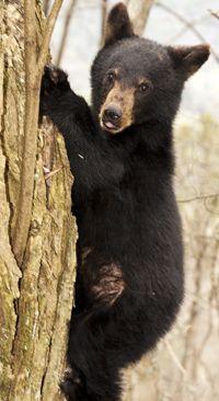 Appalachian Bear Rescue (ABR) in Townsend, Tennessee
