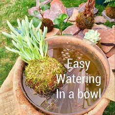 KOKEDAMA PHOENIX 1 minute watering once or twice a week  Soak in a bowl of water.  #watering #bowl #yoga #meditation #kokedama #mossballs #success #plantcare  #gardening #scottsdale #phoenix #kokedamaphoenix  #plants #cool  #bohostyle #desertplants #sycculents Desert Plants, Plant Care, Air Plants, Yoga Meditation, Bonsai, Phoenix, Planter Pots, Succulents, Success