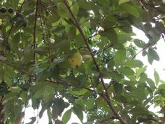 Guava assessment on Allripe by Teresita Casas.