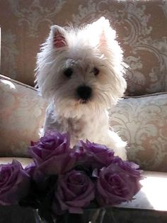 A Gorgeous Westie and Beautiful Purple Roses~Life Is Perfect. <3