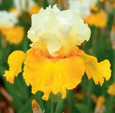 Salzburg Echo   Tall Bearded Iris  Schreiner's Iris Gardens