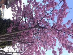 Beautiful blossom in my garden