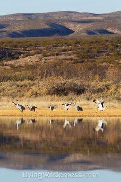 Sandhill Cranes in the Bosque del Apache National Wildlife Reserve in New Mexico.