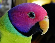"""Plum-Headed Parakeet, thought to be a hybrid and not a """"natural"""" species"""