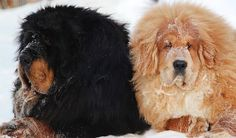 Love Tibetan Mastiff? Here is everything about Tibetan Mastiff from breed info to characteristics, temperament, colors price to puppy information. #tibetanmastiffdogs #bestgaurddogs #powerfuldogbreeds #tibetdogs #bestcompaniondog #bestfamilydogs #dogreviews
