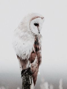 Owl | The North Realm