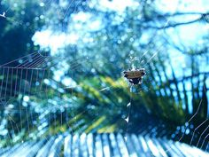 picture taken by me of an alien spider of the genre Gasteracantha. I thought we were being invaded by ufos & they dropped that here lol (: