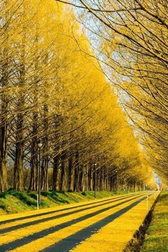Magnificent!! Yellow Gingko Tree-Lined Road ~ Japan
