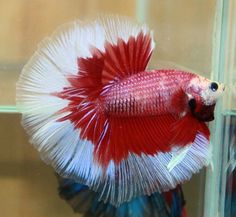 The Siamese fighting fish also known as betta, is a popular species of freshwater aquarium fish. Description from pinterest.com. I searched for this on bing.com/images