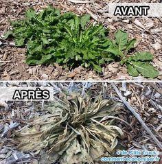 À quoi ressemblent les mauvaises herbes après avoir utilisé le désherbant naturel ?