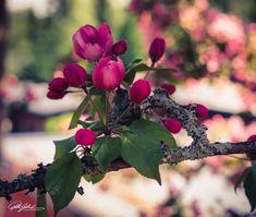 Nature photography Cherry Blossom, Nature Photography, Wildlife Photography, Cherry Blossoms