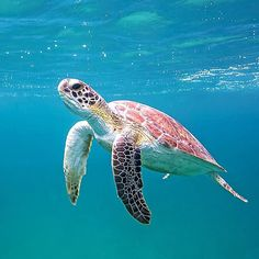Who wants to join the turtle club? #honu