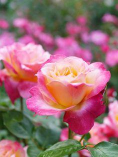 Broadway ~ Hybrid Tea Rose