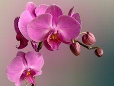 орхидея: 22 тыс изображений найдено в Яндекс.Картинках