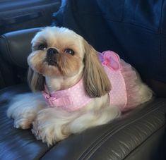 Shih Tzu Ka-Leigh with her new harness dress