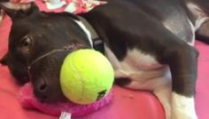 Abused Pit Bull Caitlyn's Biggest Problem Now Is Losing Her Toy