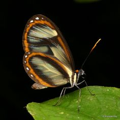 https://flic.kr/p/23ZGAXY | Clearwing butterfly | from Ecuador: www.flickr.com/andreaskay/albums