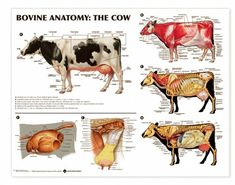 Bovine Anatomy Chart Cow Lake Forest Anatomicals Educatio...