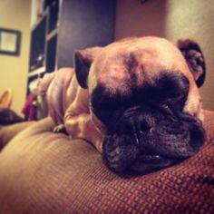 My baby! Jabba the mini English bulldog
