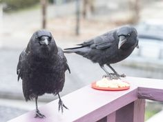 Posts about Crows written by The Urban Nature Enthusiast Baby Crows, Quoth The Raven, Beautiful Birds, Beautiful Things, Urban Nature, Jackdaw, Crows Ravens, Dog Birthday, Bird Pictures