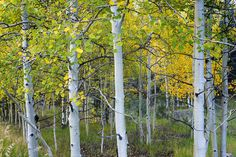 Aspens In Autumn 6 - Santa Fe National Forest New Mexico Photograph