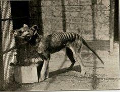 Very rare photograph of London Zoo's last Thylacine (Tasmanian Tiger), circa 1930-31