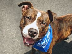 SUPER URGENT Manhattan Center ADAM – A1075524 MALE, BR BRINDLE, PIT BULL MIX, 2 yrs STRAY – STRAY WAIT, NO HOLD Reason STRAY Intake condition UNSPECIFIE Intake Date 05/29/2016 http://nycdogs.urgentpodr.org/2016/05/adam-a1075524/