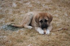 Why Geraldine!?  Livestock Guard Dogs, Turkish Kangal, Maremma cross.