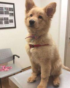 Golden Retriever Mix, Retriever Puppy, Labrador Retrievers, Funny Golden Retrievers, Cute Baby Animals, Funny Animals, Animals Images, Nature Animals, Puppy Care