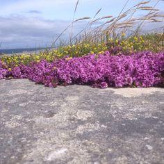 Limestone and wild thyme the Aran Islands. Wild Atlantic Way, Full Stop, Wildflowers, Sidewalk, Twitter, Plants, Ireland, Side Walkway, Walkway