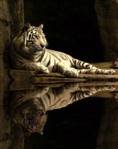 als Farbinspiration: 50 brilliante Fotos und Farbschemata Awesome White Tiger Animals And Pets, Baby Animals, Cute Animals, Wild Animals, Beautiful Cats, Animals Beautiful, White Bengal Tiger, White Tigers, White Lions