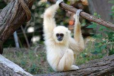Cincinnati Zoo ... White-Handed Gibbon baby named Possum