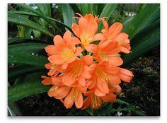 Imágenes de flores y plantas: CLIVIA