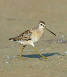 Shorebird | juvenile short billed dowitcher by ted eubanks