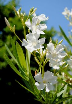 This oleander tree will bloom repeatedly.  From Tone on Tone: Summer Whites