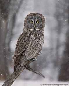 Photo Great Grey Owl on a grey snowy day by Rick Dobson on 500px
