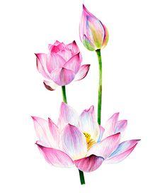 Watercolour lotus Watercolor Clipart card floral elements